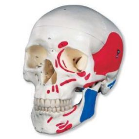 Classic Painted Skull - 3 Part