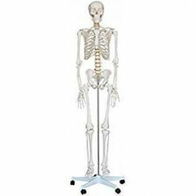 Life Size Skeleton - Deluxe